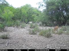 2018-06-24 08:49:08 - Crystal Creek 1 (Crystal Creek Bowhunting) Tags: crystal creek bowhunting trail cam