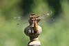 Broad-bodied Chaser! (RiverCrouchWalker) Tags: broadbodiedchaser libelluladepressa dragonfly insect invertebrate hanningfieldreservoir hanningfieldreservoirnaturereserve downham essex june 2018 summer perching