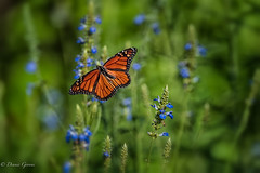 Monarch in Flight (dngovoni) Tags: flower meadowlark virginia action bug butterfly flight insect monarch summer sunrise wildlife vienna unitedstates us