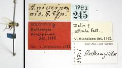 Anthomyza niveipennis Zetterstedt, 1845 (Biological Museum, Lund University: Entomology) Tags: diptera zetterstedt anthomyiidae anthomyza niveipennis delia albula mzlutype00347