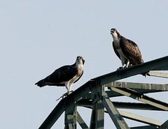 Fischadler (Cologne-Soul) Tags: vogel fischadler adler greifvogel pandionhaliaetus osprey wildlife natur nature tier animal