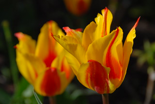When You Look Upon the Beauty of the Tulip It Is Difficult Not to Use Flowery Language!