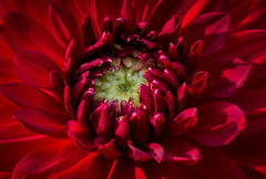Heart of the Dahlia (donnieking1811) Tags: tennessee cookeville dahlia flower red petals canon 60d lightroom