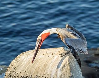 Pelican_49