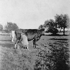 Somerset Holidays - 1930s 4 - Milking Time (www.jhluxton.com - John H. Luxton Photography) Tags: aller langport somerset westcountry farm farming 1930s haroldwilliamluxton johnwilliamluxton england uk unknown unknownlocation oldphotograph wwwjhluxtoncom johnhluxtonphotography cow milking milkingtime countryside englishcountryside britishcountryside cattle blackandwhite monochrome