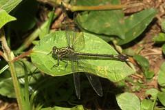 Paragomphus sp ♀ - Bigodi, Uganda (Nick Dean1) Tags: animalia arthropoda arthropod hexapoda hexapod insect insecta odonata dragonfly bigodiwetlands kibale kibalenationalpark uganda