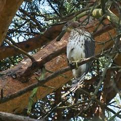 Juvenile Cooper's Hawk, Mackworth Island (Bill Bunn) Tags: coopershawk falmouth maine
