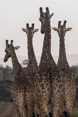 Giraffes - Zimanga - South-Africa (wietsej) Tags: giraffes zimanga southafrica sony rx10iv rx10m4 animal rx10 iv