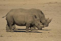 Breedlipneushoorn - Safaripark Beekse Bergen - Hilvarenbeek (Jan de Neijs Photography) Tags: dierentuin zoo tamron tamron150600 150600 dierenpark nl holland thenetherlands dieniederlande utrecht diergaarde animal dier beeksebergen neushoorn hilvarenbeek rhinocerotidae rhino safariparkbeeksebergen safaripark witteneushoorn breedlipneushoorn sbb