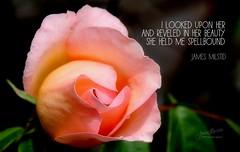221/365 - Daily Haiku: Spellbound (James Milstid) Tags: dailyhaiku haikuaday haiku haiga poetry jemhaiku rose