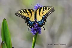 Eastern Tiger Swallowtail on Pickerelweed (wayne kennedy EDD) Tags: easterntigerswallowtail butterfly lakeapopkawildlifedrive swallowtail