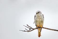 Black-shouldered Kite (gijssmulders) Tags: blackshoulderedkite majestic birdofpray birdphotography bird birdlife raptor wildlifephotography australianwildlife wildlife naturephotography nature farnorthqueensland australianbird