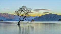 _DSC8869 copy (kaioyang) Tags: thatwanakatree lake wanaka new zealand sony a7r2 zeiss loxia 50mm loxia250