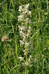 Welriekende nachtorchis - Platanthera bifolia (henkmulder887) Tags: welriekendenachtorchis openbos orchidee schralehooilanden weisewaldhyazinthe butterflyorchid oostenrijk bloemen alpenbloemen tannheimertal