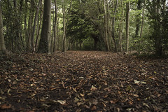Rising up. (Anxious Silence) Tags: norburypark surrey uk autumn walking outdoors forest woodland forestfloor tree leaf path landscape nature