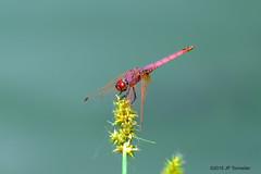 Une rouge (jpto_55) Tags: odonate insecte libellule rouge xe1 fuji fujifilm fuji55200f3548rlmois hautegaronne france ngc