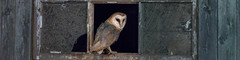 R18_3323-Pano (ronald groenendijk) Tags: cronaldgroenendijk 2018 rgflickrrg tytoalba animal barnowl bird birds copyrightronaldgroenendijk europe holland kerkuil nature natuur natuurfotografie netherlands outdoor owl owls ronaldgroenendijk uil uilen vogel vogels wildlife