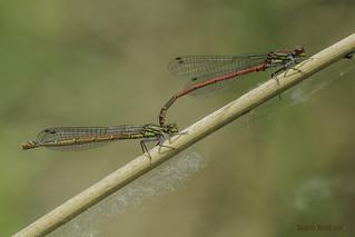Tándem de Pyrrhosoma nimphula