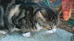 Key West (Florida) Trip 2017 0390Ri 9x16 (edgarandron - Busy!) Tags: cat cats kitty kitties cute feline florida keys floridakeys keywest hemingwayhome