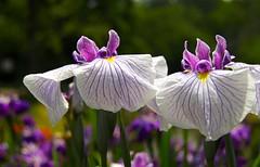 Iris (Greenville SC) (ToJoLa) Tags: canon canoneos60d 2018 usa southcarolina sc vakantie familiebezoek natuur nature colours colors kleuren park garden centrum iris
