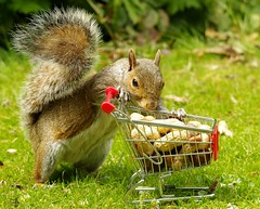 grey squirrel with a shopping cart - trolley  (1) (Simon Dell Photography) Tags: grey squirrel with shopping cart nuts cute wild real botanical gardens trolley funny awesome park sheffield uk england summer spring simon dell photography 2018 photos city nature wildlife springwatch countryfile