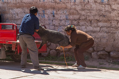 I Always Have This Problem When I Shop at Costco... (Jill Clardy) Tags: peru sacredvalley southamerica market 201304104b4a3770 pig wagon shopping struggle outdoor pork truck woman man