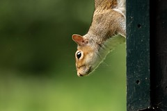 Squirrel (herodtheswiss) Tags: forestfarm squirrel