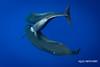 Affection (ALIVEUNDERWATER) Tags: whales hawaii kailua kona pilot nature