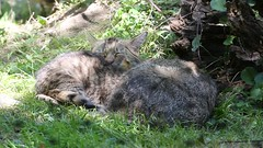 European wildcat 23-06-2018 005 (swissnature3) Tags: wildlife animals wildcat nature basel switzerland