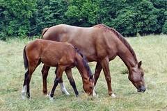 Seite an Seite (mama knipst!) Tags: fohlen foal stute pferd horse cheval cavallo tier animal