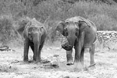 Playful Females (PB2_2806) (Param-Roving-Photog) Tags: elephant elephants animals wildlife grazing grass riverbed dry playful swinging trunks feet dusk sunset dark highiso lowlight blackandwhite bw monochrome grainy chilla rajaji nationalpark uttarakhand india wildlifephotographer animalphotography nikond7200 tamron150600