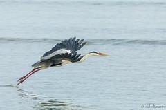 Take off (grandmich56) Tags: baielazare seychelles greatblueheron héronblue oiseau bird ardeidae