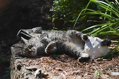 "Camille: ""This seashell is mine now."" (rootcrop54) Tags: camille female mackerel tabby sea shell seashell possessive neko macska kedi 猫 kočka kissa γάτα köttur kucing gatto 고양이 kaķis katė katt katze katzen kot кошка mačka gatos maček kitteh chat ネコ cc100 cc500"