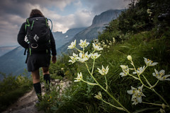 Death Camas and a hiker (GlacierNPS) Tags: alpine camas conservation crowded crowds death department doi flower flowers glacier highline hikers hiking interior montana mt nationalpark nature nps outdoors park people plant plants recreation tourists trail visitors wildflower