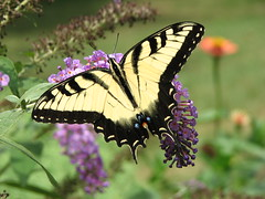 Tiger Swallowtail (AmyWoodward) Tags: tigerswallowtail tigerswallowtailbutterfly butterfly swallowtail buzznbugz