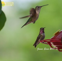 Broad-tailed and Calliope Hummingbirds (ironekilz) Tags: chatfieldstatepark