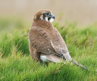 This Brown Falcon goes green