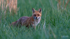 Red Fox - Vulpes vulpes | 2018 - 22 (RGL_Photography) Tags: carnivora fox gardenstate jerseyshore kits monmouthcounty mothernature newjersey nikonafs600mmf4gedvr nikond500 redfox us unitedstates vixen vulpesvulpes wildkingdom wildlife wildlifephotography ©2018rglphotography