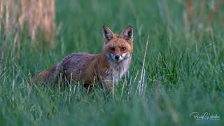 Red Fox - Vulpes vulpes | 2018 - 22