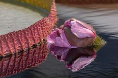 Waterlily Pond reflection (gdajewski) Tags: d750 longwoodgardens nikond750 sb900 flash speedlight reflection nikon200500mmf56 gdajewski dajewski fillflash closeup flower lily pond garden water fx fullframe