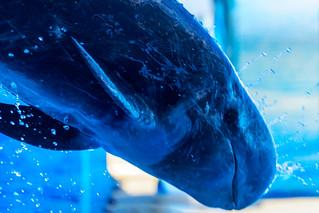 Dynamic jump! False Killer Whale at the Dolphins and Sea Lions Show of Enoshima Aquarium, Fujisawa : オキゴンドウのジャンプ(新江ノ島水族館・イルカとアシカのショーにて)