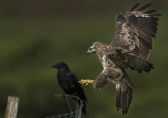Buzzard and Crow - Almost Gothic (Ann and Chris) Tags: amazing awesome gothic moody crow buzzard birds flying landing hawk impressive incoming predator raptor stunning wild wings