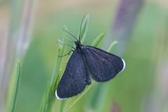 Chimney Sweeper (Tim Melling) Tags: odezia atrata chimney sweeper moth darwen lancashire timmelling