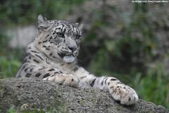 SnowLeopard - Zoo Salzburg (Mandenno photography) Tags: dierenpark dierentuin dieren animal animals oostenrijk salzburg zoo bigcat big cat cats snow leopard leopards snowleopard ngc nature