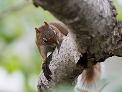 Around the BrucePeninsula (Frances Maas) Tags: brucepeninsula tobermory nature naturephotography canada canonphotography ontario outdoors wildlife animals squirrel redsquirrel treesquirrel rodent tree