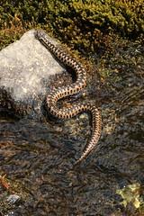 vipère péliade (bratschy1) Tags: vipèrepéliade bivio grisons suisse snake viper