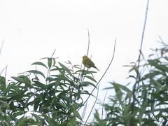Yellow Warbler At The West Rutland Marsh (amyboemig) Tags: westrutland marsh wetland spring summer june songbird bird yellow warbler