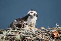 AddtnPit 14 (edpaul Photos) Tags: bcbirds birding breeding bcbirders nature wildlife habitat wings waterfront osprey