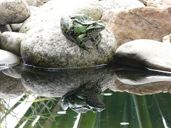 the master of enchanted prince in the pond (sohlen.rocker) Tags: frog frosch animal tier spieglung wasser amphibien