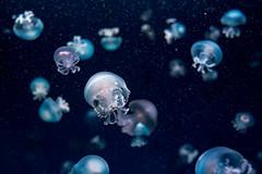 Cannonball Jellyfish (Stomolophus meleagris) of Enoshima Aquarium, Fujisawa : キャノンボールジェリー(新江ノ島水族館) (Dakiny) Tags: 2018 summer august japan kanagawa fijisawa shonan shonancoast enoshima kataseenoshima park aquarium enoshimaaquarium city street indoor creature animal jellyfish cannonballjellyfish stomolophusmeleagris underwater blue macro bokeh nikon d750 afsnikkor28mmf18g nikonafsnikkor28mmf18g